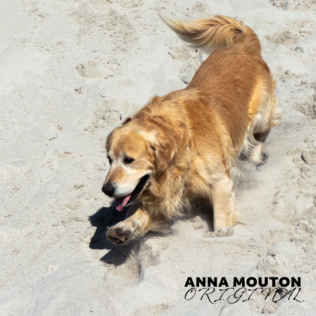 Golden Retriever dog playing on a sand dune. Photo by Anna Mouton.