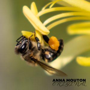 Honey bee — Apis species — collecting pollen on chasmanthe — Chasmanthe floribunda var. duckittii. Photo by Anna Mouton.