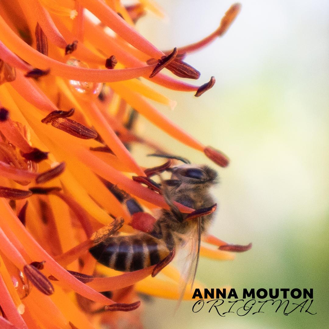 Honey bee — Apis species — on aloe — Aloe ferox. Photo by Anna Mouton.
