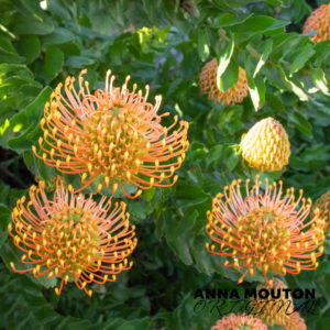 Flowers of orange pincushion — Leucospermum cordifolium. Photo by Anna Mouton.
