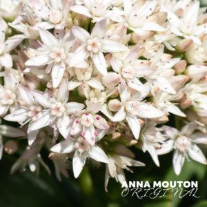 Flowers of jade plant — Crassula ovata. Photo by Anna Mouton.