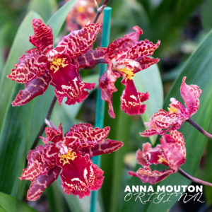 Red and white oncostele orchid flowers. Photo by Anna Mouton.