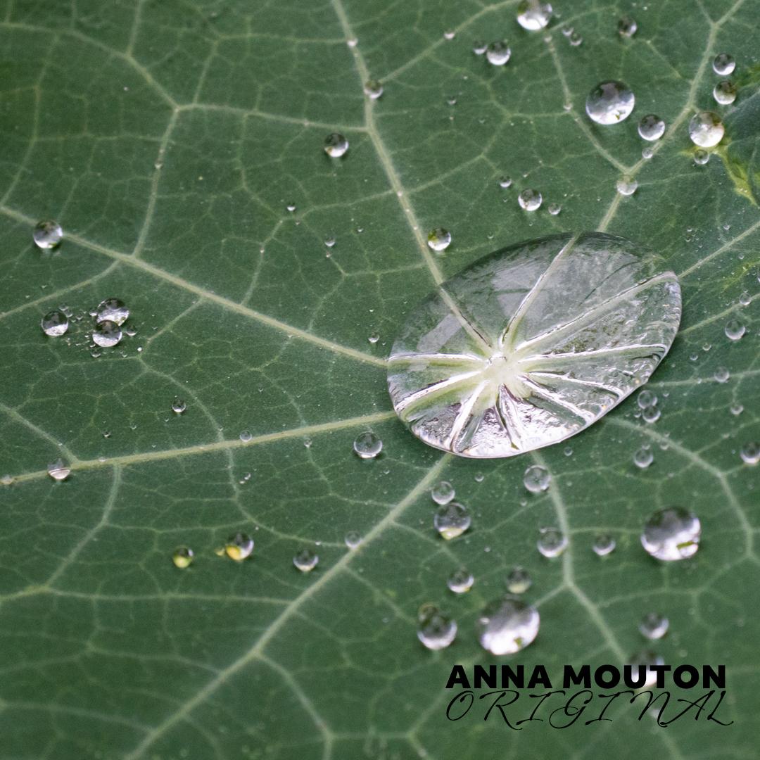 Raindrops on nasturtium — Tropaeolum majus — leaf. Photo by Anna Mouton.