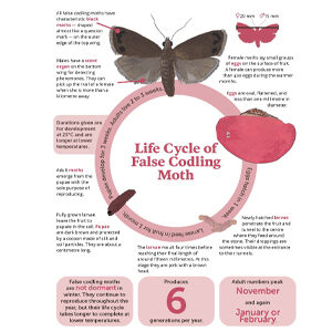 Fresh Quarterly December 2019. Infographic: Life cycle of false codling moth created by Anna Mouton.